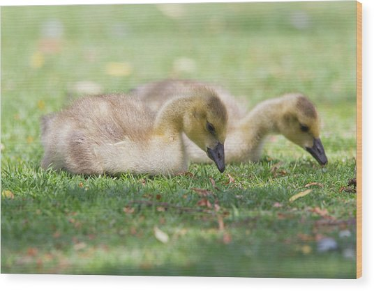 Two Goslings In Grass Wood Print