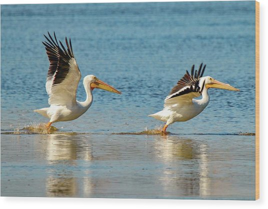 Two Pelicans Taking Off Wood Print