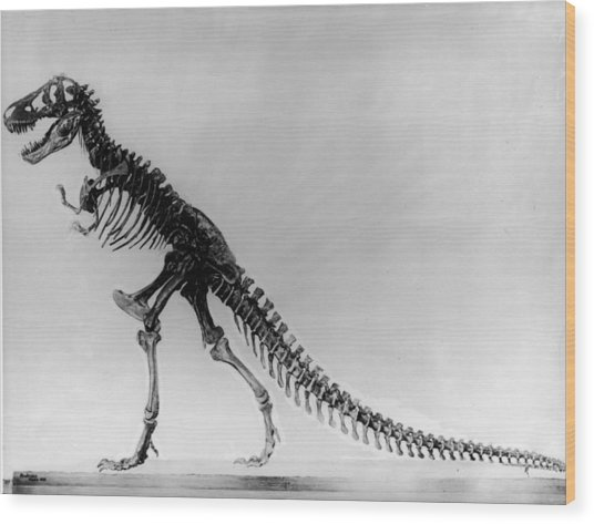 Tyranosaurus Skeleton Wood Print by Hulton Archive