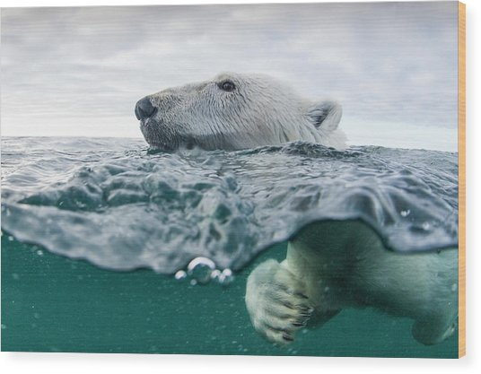 Underwater Polar Bear In Hudson Bay Wood Print by Paul Souders