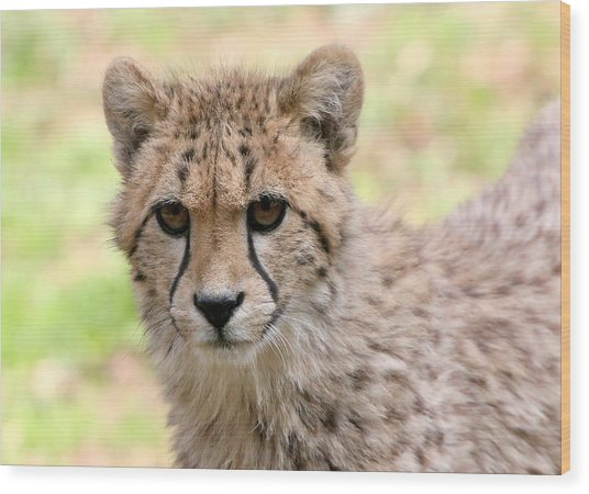 Unwavering Cheetah Youngster Wood Print by Ger Bosma