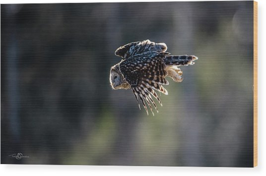 Ural Owl Flying Against The Light To Catch A Prey  Wood Print