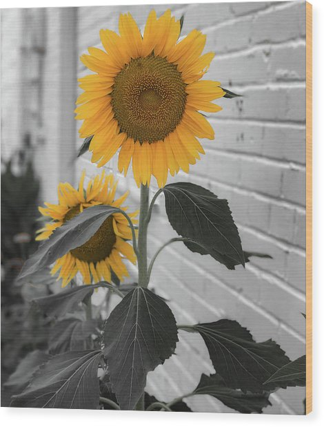 Urban Sunflower - Black And White Wood Print
