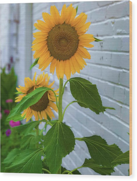 Urban Sunflower Wood Print