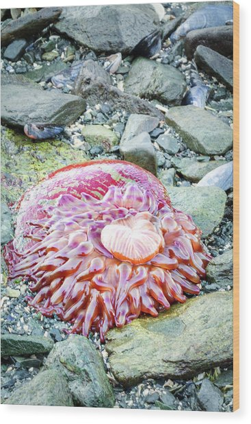Usa, Alaska A Christmas Anemone Open Wood Print by Margaret Gaines
