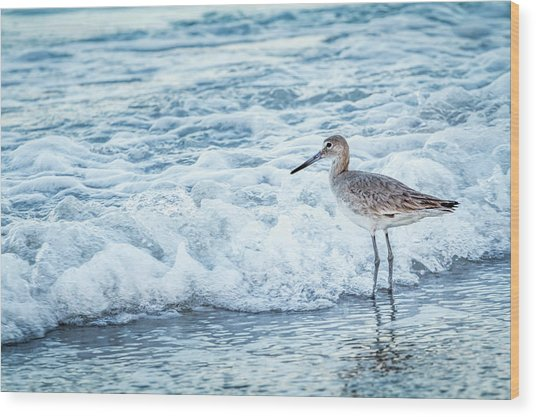 Usa, Florida A Willet, Tringa Wood Print by Margaret Gaines
