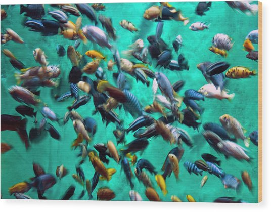 Various Multi-colored African Fish Wood Print by By Ken Ilio