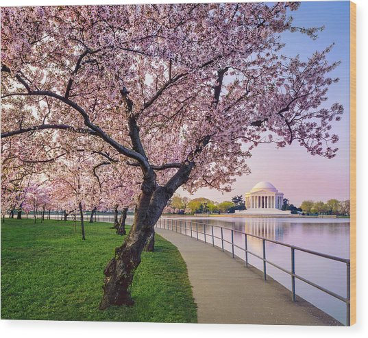 Washington Dc Cherry Trees, Footpath Wood Print by Dszc