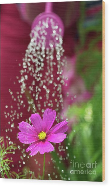 Watering A Cosmos Flower Wood Print by Tim Gainey