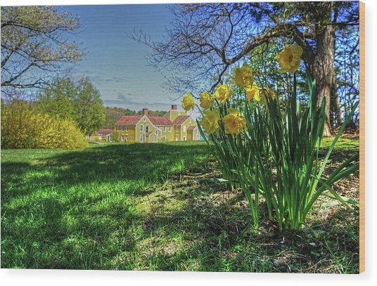 Wentworth Daffodils Wood Print