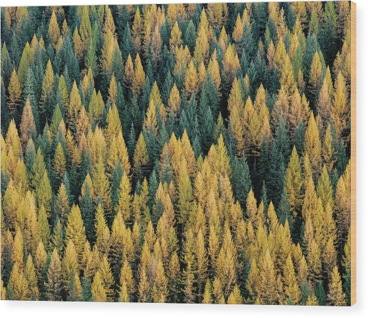 Western Larch Forest Wood Print by Leland D Howard