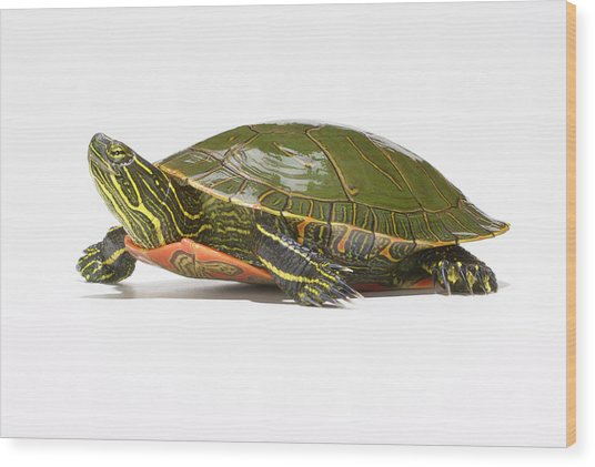Western Painted Turtle Chrysemys Picta Wood Print