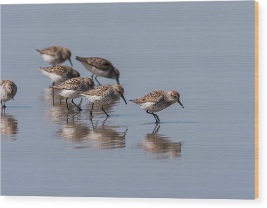 Western Sandpipers And Reflection Wood Print