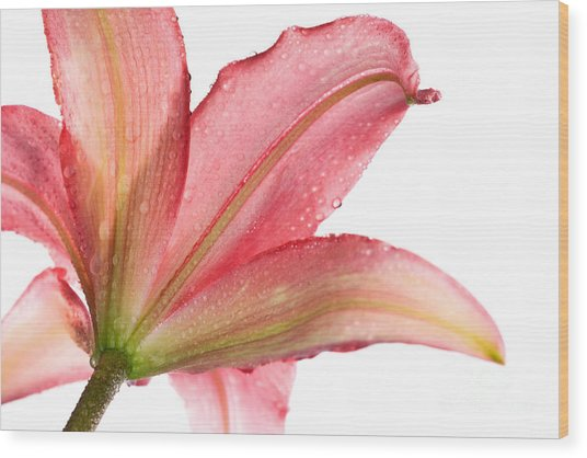 Wet Pink Lily From Below Against White Wood Print