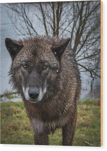 Wet Wolf Wood Print