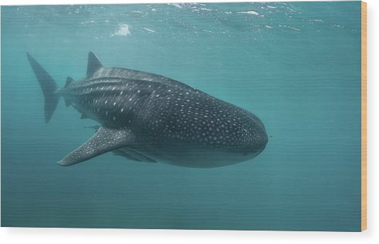 Whale Shark Wood Print by Nature, Underwater And Art Photos. Www.narchuk.com