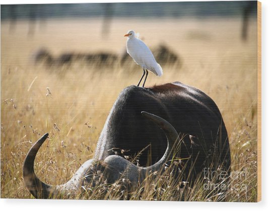 White Cattle Egret Hitching A Ride On Wood Print