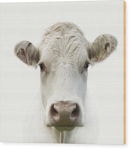 White Cow Wood Print
