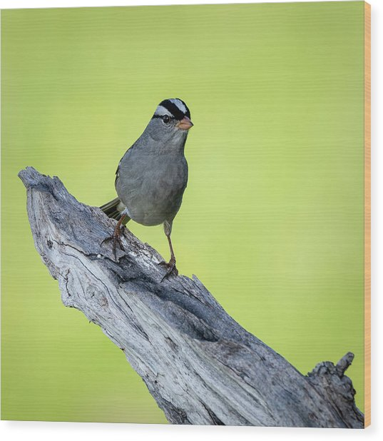 White Crowned Sparrow 1 Wood Print