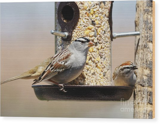 White-crowned Sparrow, Zonotrichia Wood Print