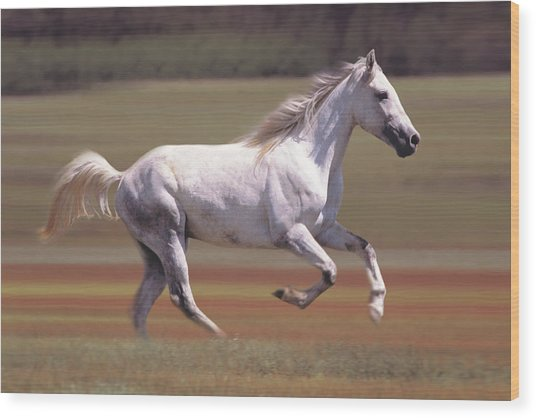 White Horse Running In Field Wood Print by Comstock