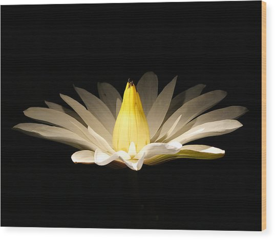 White Lily At Night Wood Print