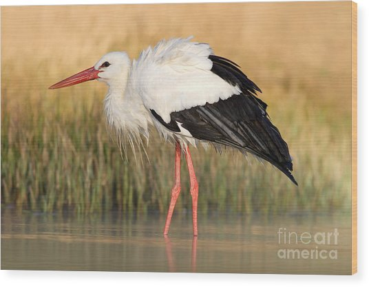 White Stork, Ciconia Ciconia, In The Wood Print