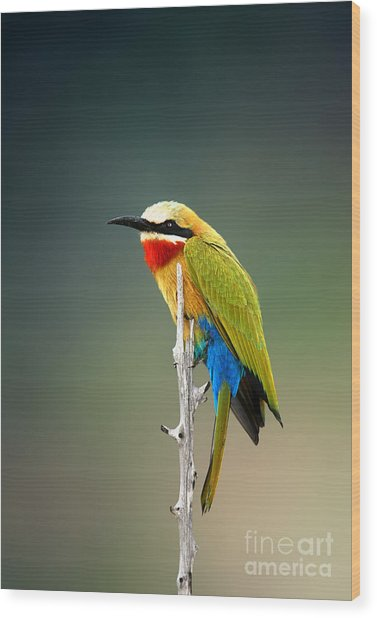 Whitefronted Bee-eater Merops Wood Print