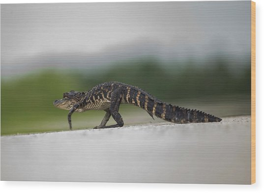 Why Did The Gator Cross The Road? Wood Print