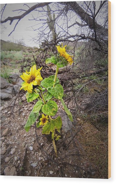Wild Desert Sunflower Wood Print