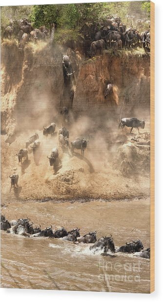 Wildebeest Jump From The Banks Of The Mara  Wood Print