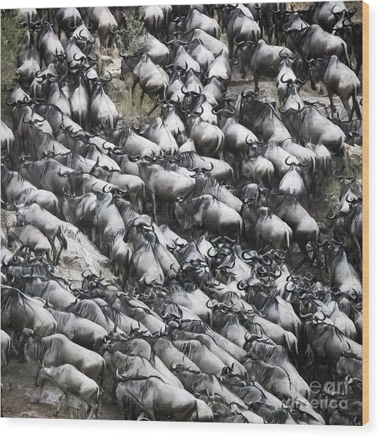 Wildebeest Scramble Out Of The Mara River Wood Print