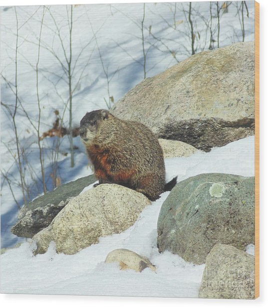 Winter Groundhog Wood Print