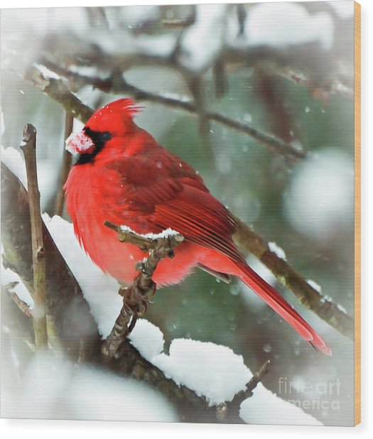 Winter Red Bird - Male Northern Cardinal With A Snow Beak Wood Print