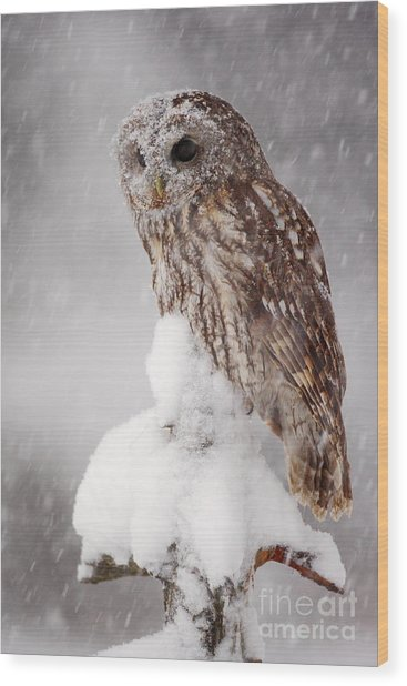 Winter Wildlife Scene With Tawny Owl Wood Print