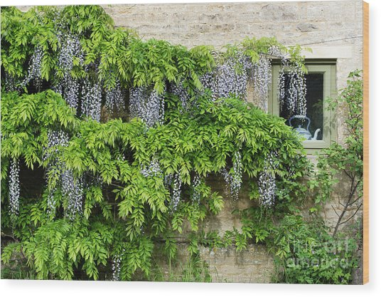 Wisteria On A Cotswold Stone House Wood Print by Tim Gainey