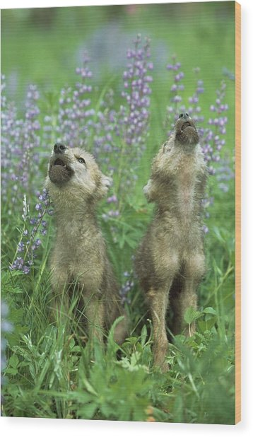 Wolf Puppies Howling In Meadow Wood Print by Design Pics / David Ponton