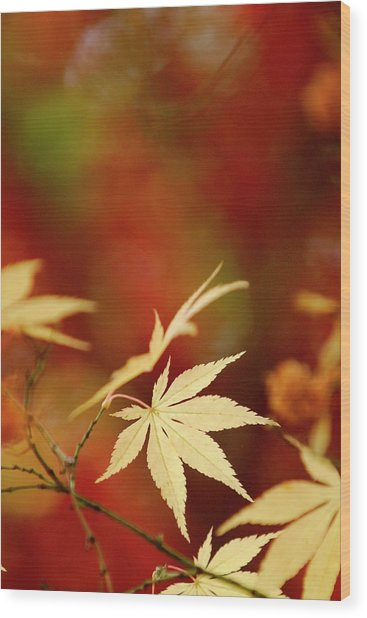 Yellow Acer Leaves Against A Vibrant Wood Print by Stephen Spraggon