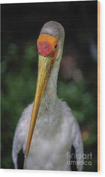 Yellow Billed Storks Wood Print