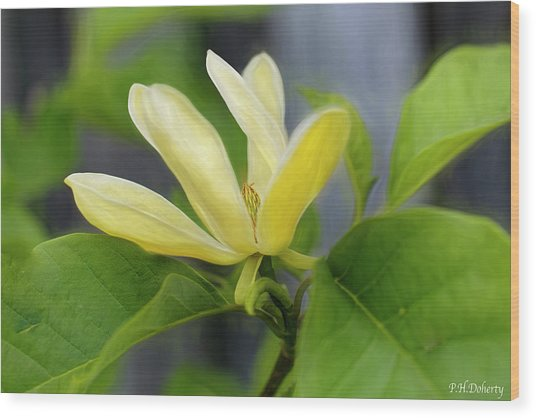Yellow Bird Magnolia Tree Bloom Wood Print