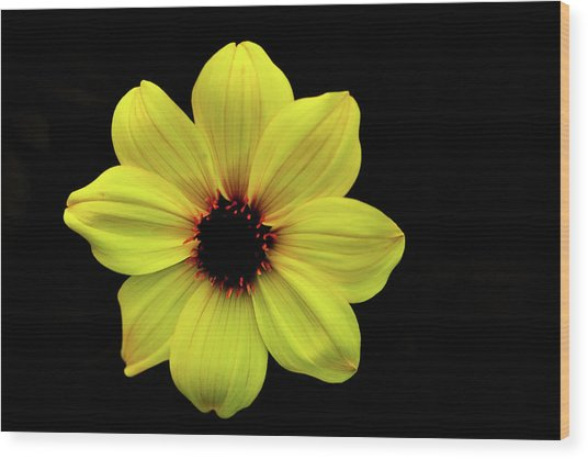 Yellow Dahlia Wood Print