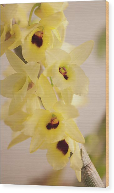 Yellow Dendrobium Nobile In Full Bloom Wood Print by Maria Mosolova