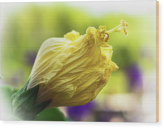 Yellow Mature Hibiscus  Wood Print