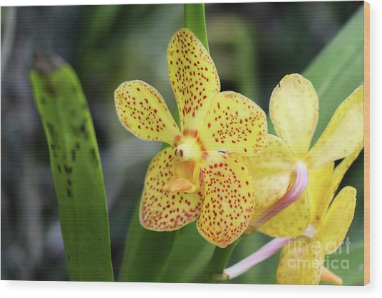Yellow Spotted Orchids Wood Print