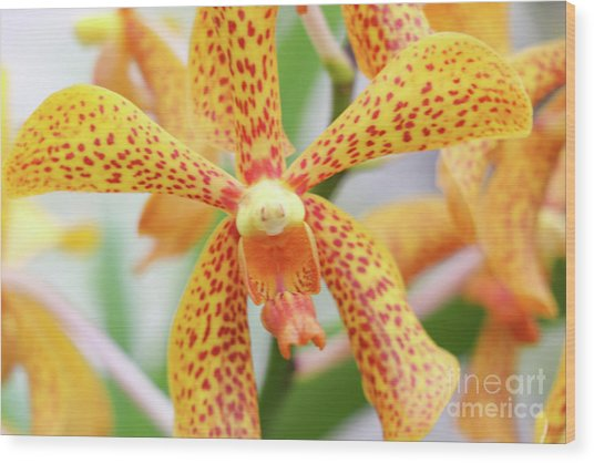 Yellow Spotted Spider Orchids Wood Print