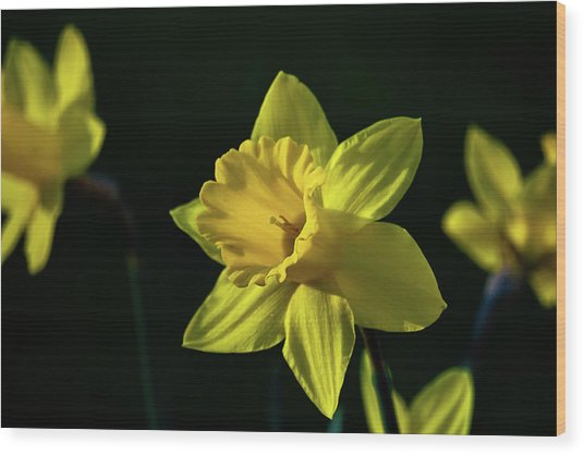 Yellow Spring Daffodils Wood Print