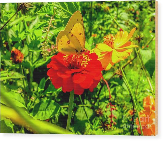 Yellow Sulfur Butterfly Wood Print
