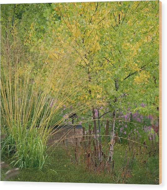 Yellowing Ornamental Grasses And Birch Wood Print