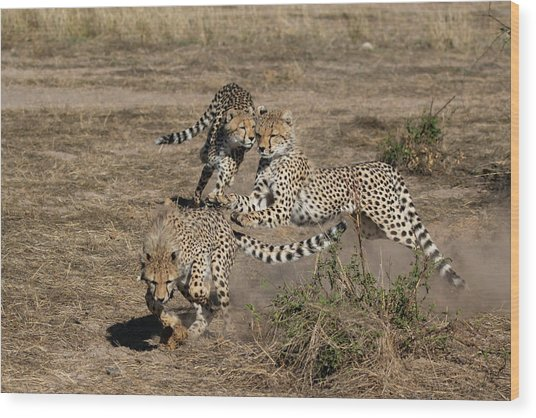 Young Cheetahs Wood Print