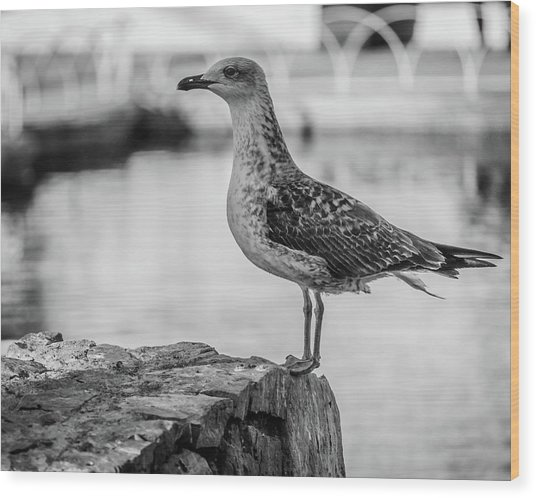 Young Seagull Wood Print